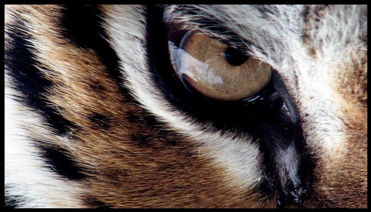 eye-of-the-tiger-13